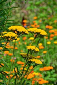 photo of Yarrow-a high alpine wildflower