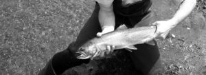 photo of a steelhead trout caught fly-fishing