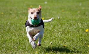 photo of a dog running on a grass field
