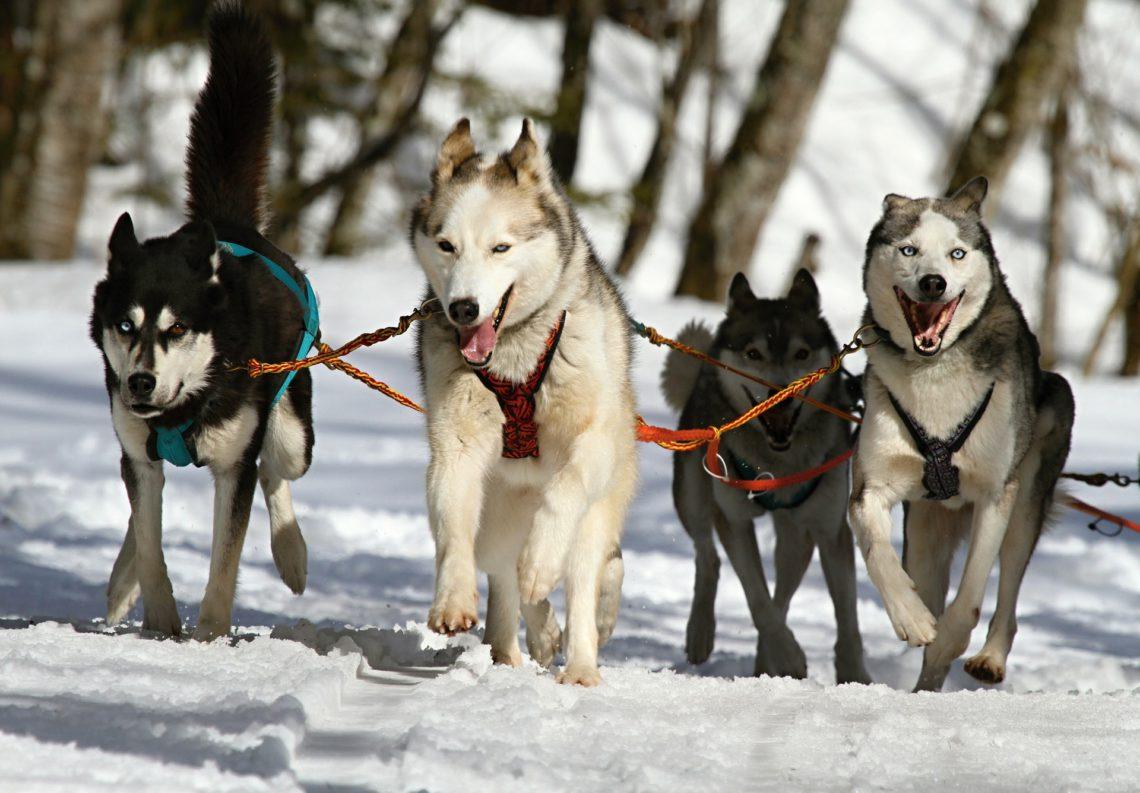 husky dogs winter dog joring