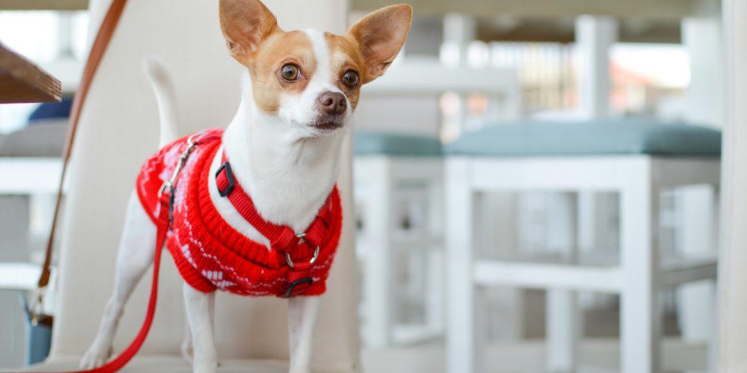 dog wearing dog coat
