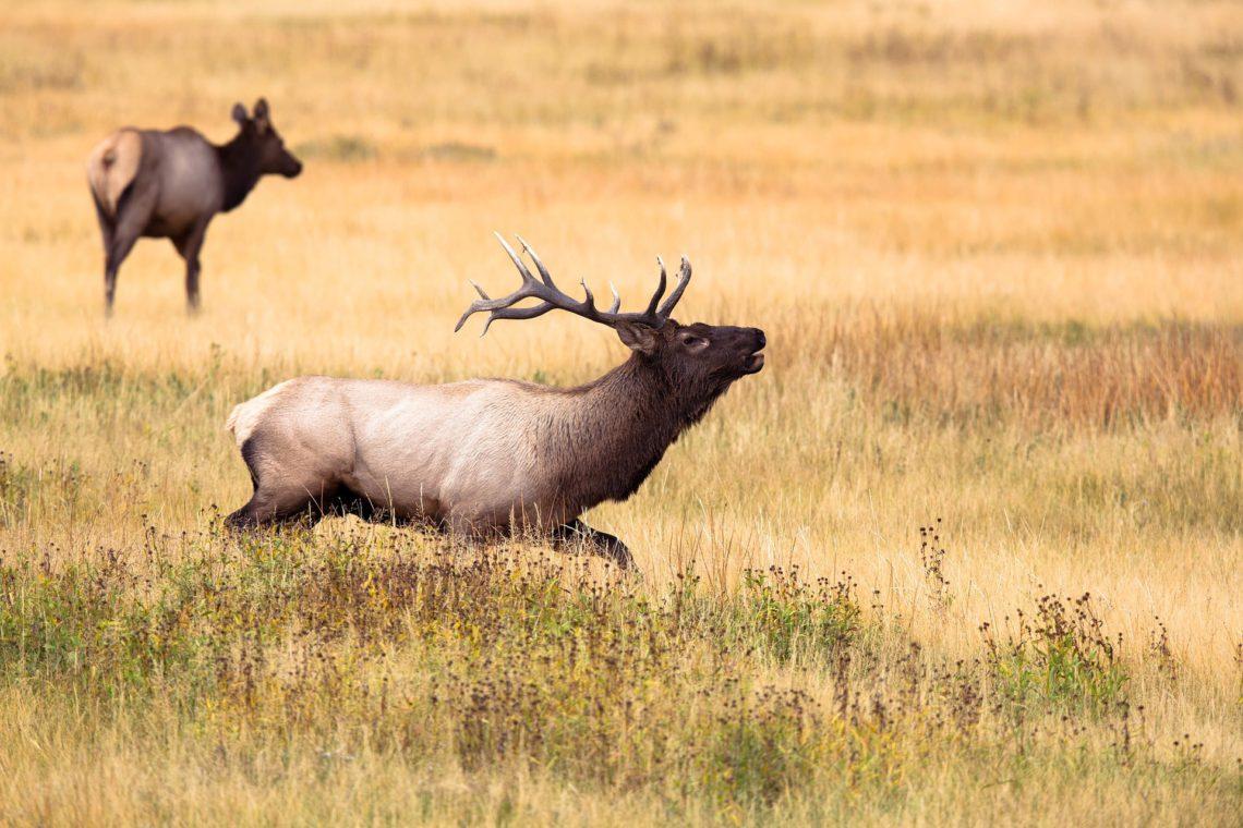 Bull & Cow Elk