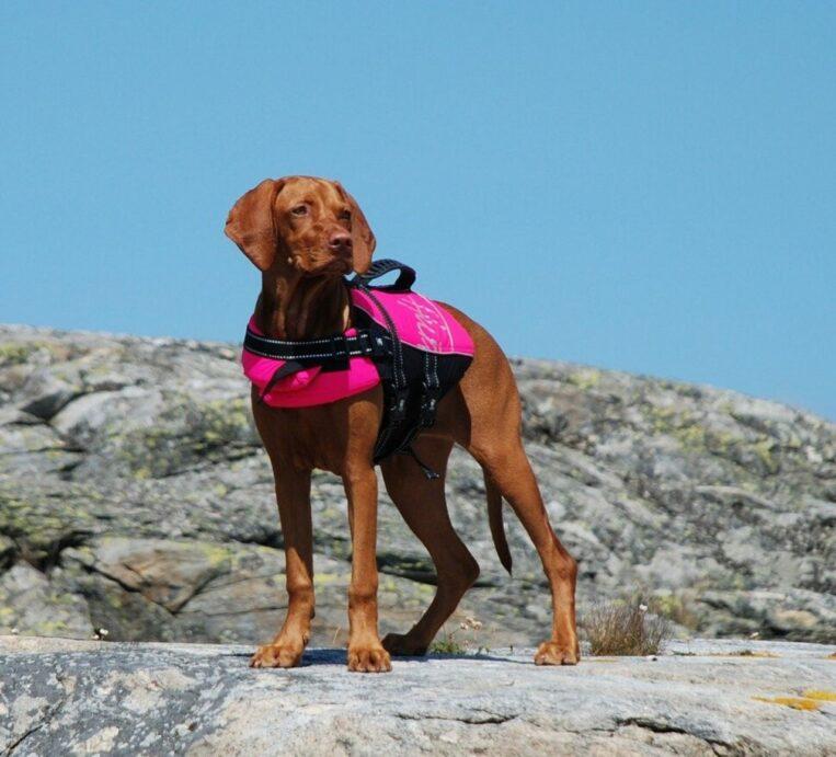 Dog Wearing a Life Vest