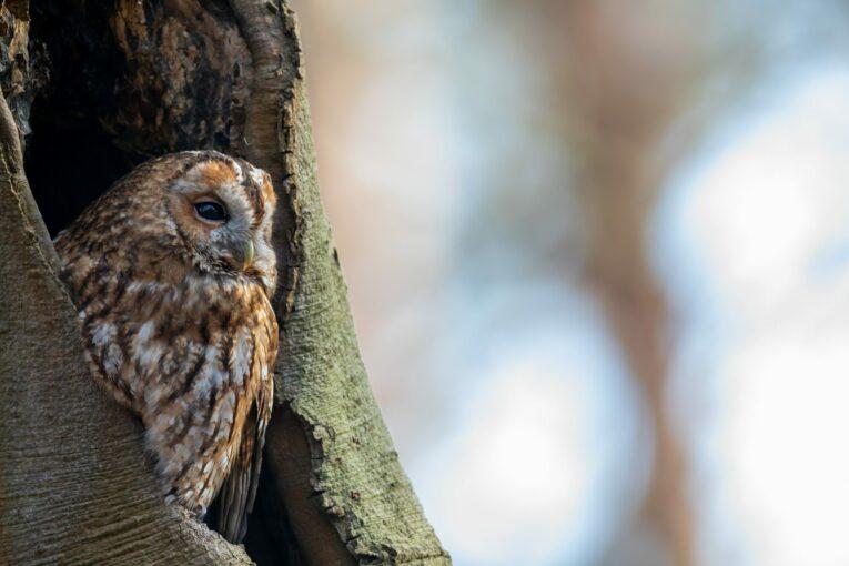 screech owl in tree